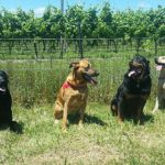 doggy winery tours #pawfect