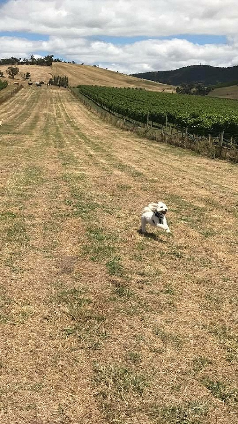 Yarra Valley Doggy Winery Tour Pawfect